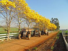 A exuberância das flores de Ipê amarelo, a flor símbolo do Brasil!