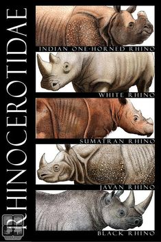 Rhinos of the World