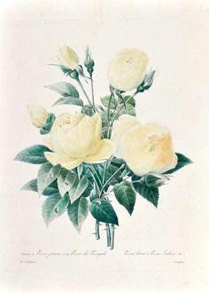 Varietes de Rose Jaune et de Rose du Bengale. Rosa lutea & Rosa Indica (Var.) | From a unique collection of still-life prints