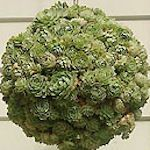 So Beautiful!  Any size, anywhere!  Hanging ball of the succulent echeveria.