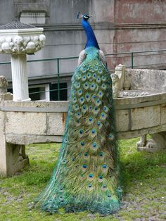 Peacock in Botanical Garden, Madeira,  7 April 2006,  © Amanda GROBE (Photographer). Attribution required.   Pavo cristatus. ...  If you want respect, be the first to give respect. Give credit where due. http://pinterest.com/about/etiquette/ http://www.pinterestnews.org/2012/06/23/beginner