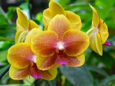 Orchid in Hilo, Hawaii