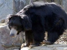 Gujarat Govt to provide good habitat for sloth bears in Jessore Wildlife Sanctuary