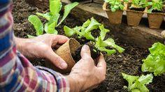 Companion planting | OverSixtyCompanion planting