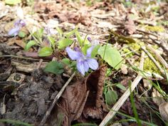 If you see a violet in the wild, it is most likely to be the Common Dog-violet;  this common and widespread plant lives happily in many different habitats.  These were spotted in Gunby, Lincolnshire by Carl Hawke. 29 April 2014
