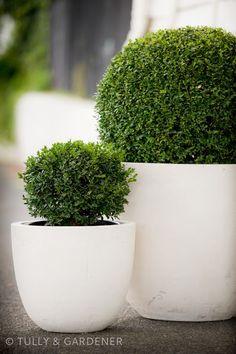 bring green topiary in white planters inside for Easter White Planters, Garden Planters, Container Plants, Container Gardening, Dubai Miracle Garden, White Gardens, Garden Inspiration, Backyard Landscaping, Beautiful Gardens