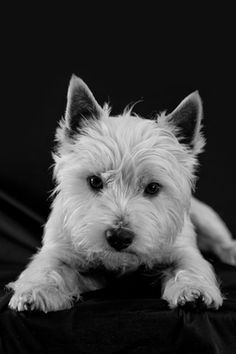 West Highlands White Terrier Profile Photo