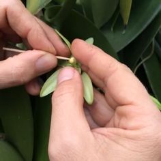 Hand pollination of vanilla in Reunion - every bud is pollinated this way and technique affects the size of the bean.