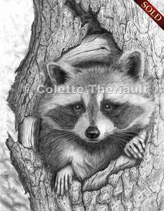 sketches on racoons | Raccoon Wildlife Art Graphite Pencil Sketch Drawing Painting-Custom