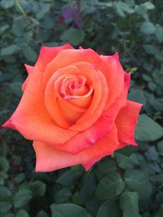 Carolina Rose --- by Carolina Mottl de Heine