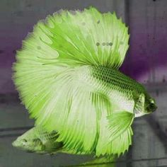 Fascinating Green Siamese Betta Splendens / Fighting Fish.