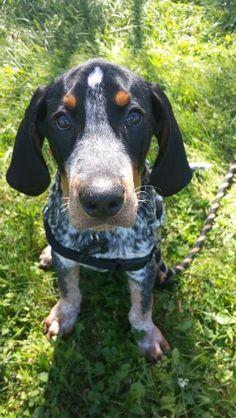 Bluetick coonhound puppy