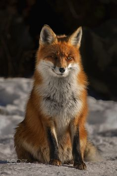 Red Fox by Fero Gomboš on 500px #Fuchs