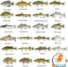 Infografías de peces 21