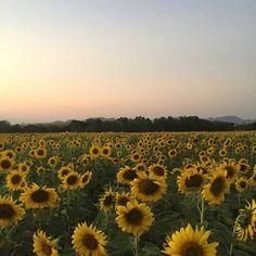 Tha-I-bun sunflower 2