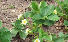 Нитрофоска - оптимальное удобрение для садовой земляники