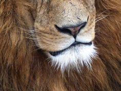 Lion, Odense Zoo