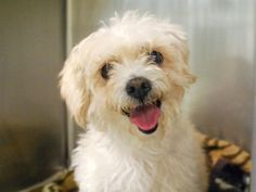 SAFE!!! SUPER URGENT 10/14/15 * ZOEY-A1054786  FEMALE, BUFF, POODLE TOY / MALTESE, 15 yrs OWNER SUR – EVALUATE, NO HOLD Reason LLORDPRIVA Intake condition EXAM REQ Intake Date 10/14/2015, From NY 10461, DueOut Date10/14/2015