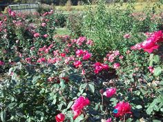 Gardening:Rose Garden Tips And Ideas Gardening Landscape Plans Garden Seating Planting Plan Climbing Rose Flower Yard Decor Small Backyard Landscaping Layout Design Ideas Rose Garden Cantigny Web Rose Garden Tips and Plans Ideas : How to Grow a Rose Garden in Pots and Other Flower Container