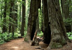 Hiking through the National Redwood Forest.