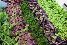Microgreens can be grown using any kind of seed and are thought to be nutrient dense. Photo courtesy iStockphoto/Thinkstock (HobbyFarms.com)