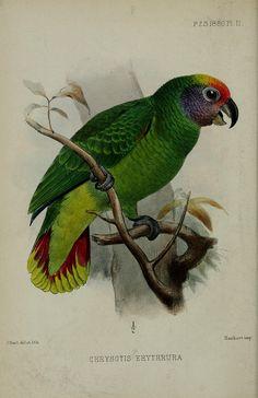 Antique green parrot image