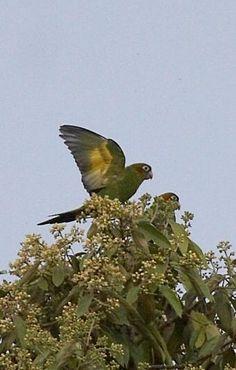 Sulphur-winged Parakeet (Pyrrhura hoffmanni) - Sendero Los Quetzales, Volcan Baru National Park, Panama