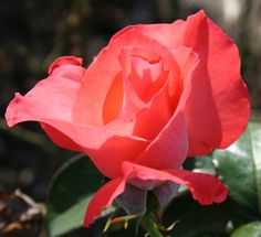 """Rosa """"Touch of Class"""""""
