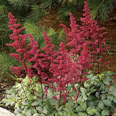 Burgundy Red Astilbe arendsii False Spirea Plant