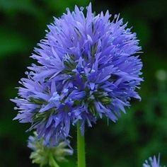 Blue Thimble Flower~ someone gave me some seeds of this... going to try it out this year! :)