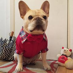 the daily walter Cronkite, the French Bulldog