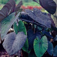 Colocasia esculenta Black Magic | K. Van Bourgondiens