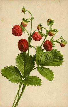 Google Image Result for http://www.metropostcard.com/picstopicals/t-botanical.jpg.jpg