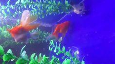 Fancy goldfish enjoying Homemade Gel food - diy coming