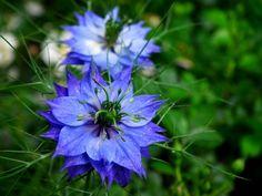 Love In The Mist03 - FlowerPictures.us