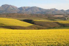 Canola near Caledon South Africa, Places To Visit, Mountains, Landscape, Pictures, Travel, Beautiful, Viajes, Photos
