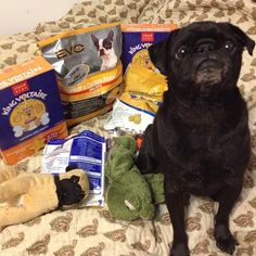 There Will Be No Limits On Treat Consumption (when pugs rule the world)