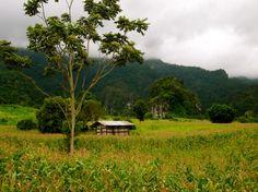 Rice paddies in Phu Lang Ka, northern Thailand