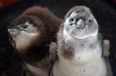 Baby penguins at ZSL Whipsnade Zoo