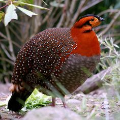 Blyth's Tragopan, yet another amazing bird. I am guessing its a type of pheasant or quail possibly, something like that.