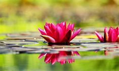 Free Image on Pixabay - Water Lily, Flower, Blossom, Bloom Free Pictures, Free Images, Psalm 119 11, Lily Wallpaper, Wallpaper Desktop, Thich Nhat Hanh, Happiness Project, Organic Gardening Tips, Verse Of The Day