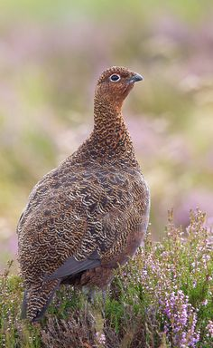 Red Grouse on flowering heather,Lammermuir Hills,Scottish Borders