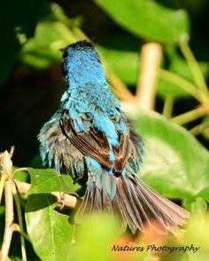 beautiful blue Indigo Bunting