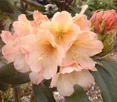 Rhododendron 'Kupferberg'