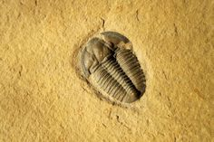 Modocia hewlisca Trilobites Order Ptychopariida Suborder Ptychopariina, Superfamily Ptychoparioidea, Family Marjumiidae Geologic Age: Upper Middle Cambrian Remarks: Note the prominent Opisthoparian facial sutures, a typical characteristic of the Ptychopariids