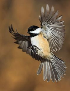 birds flying photography Sweets is part of Tips For Photographing Birds In Flight - Cute Birds, Small Birds, Little Birds, Colorful Birds, Tropical Birds, Flying Photography, Animal Photography, Bird Drawings, Animal Drawings