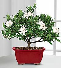 Scenic Snowfall Holiday Gardenia Bonsai