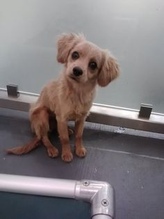 Malcolm is a 5 month old Cavalier Spaniel Mix. He is proud to be a typical puppy. He's got lots of energy, plays like the dickens, snuggles & kisses galore. Need we say more.....  Questions? Call us at 310.441.1150 He is available for adoption at L.A. Love & Leashes, located on the 1st floor of the Westside Pavilion mall at 10800 West Pico Blvd, Los Angeles, CA 90064. http://www.laloveandleashes.com/adopt/
