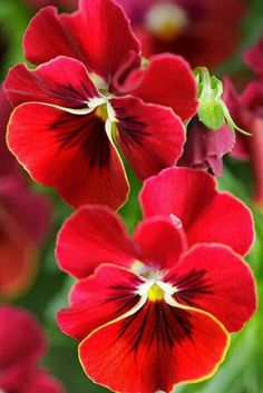 Pansies is a group of large-flowered hybrid plants cultivated as garden flowers.✿ Pansies is a group of large-flowered hybrid plants cultivated as garden flowers. Flowers Nature, Exotic Flowers, Amazing Flowers, My Flower, Colorful Flowers, Beautiful Flowers, Cactus Flower, Beautiful Gorgeous, Purple Flowers
