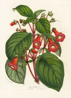 Tydaea Ortgies  -  Louis Van Houtte, Flore de Serres et des Jardins de l'Europe Botanical Prints 1851
